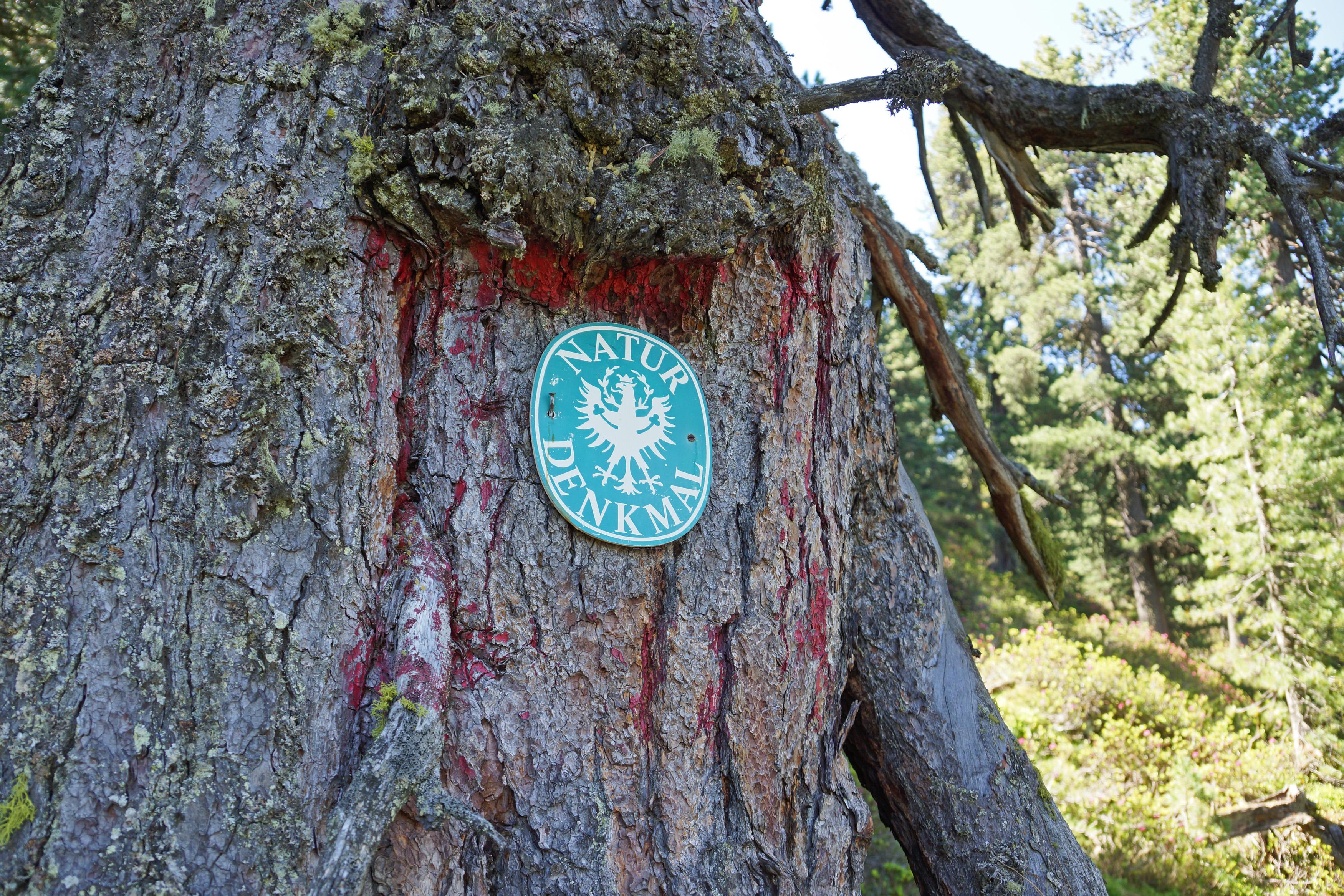 Der Baum ist seit den 1920er Jahren als Natudenkmal ausgezeichnet.