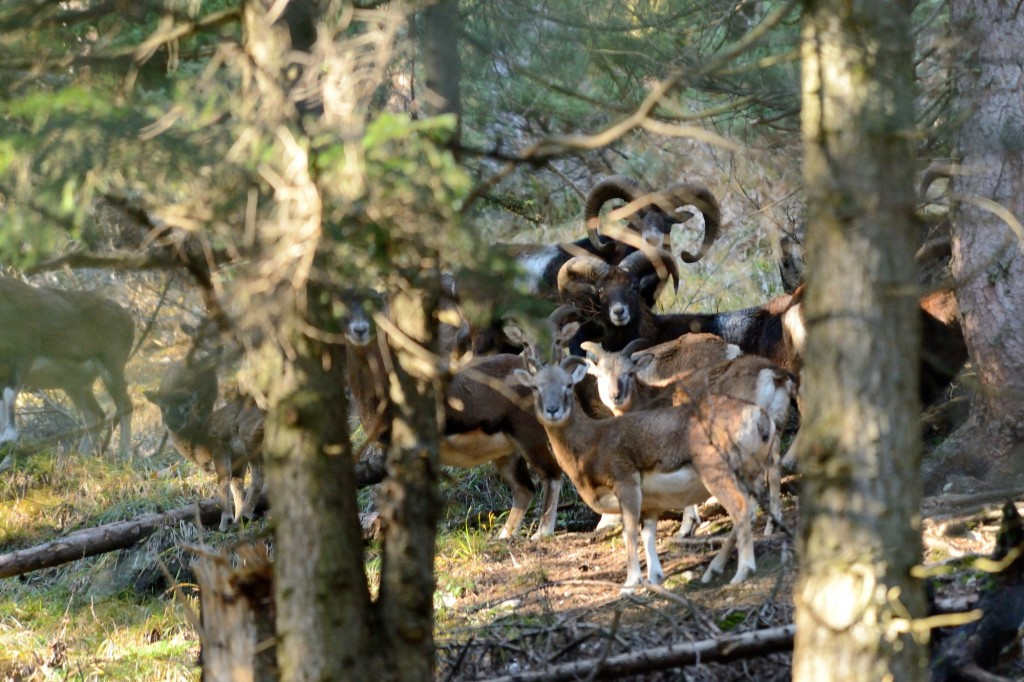 Europäischer Mufflon (Ovis orientalis musimon)_M. Schinner_1