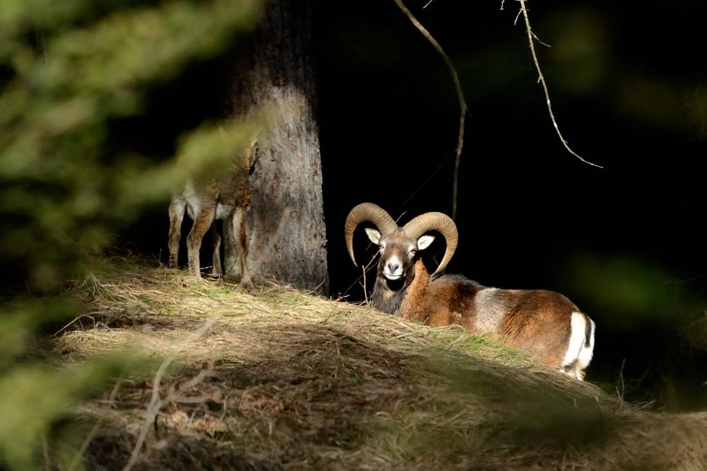 Europäischer Mufflon (Ovis orientalis musimon)_M. Schinner_2 (3)