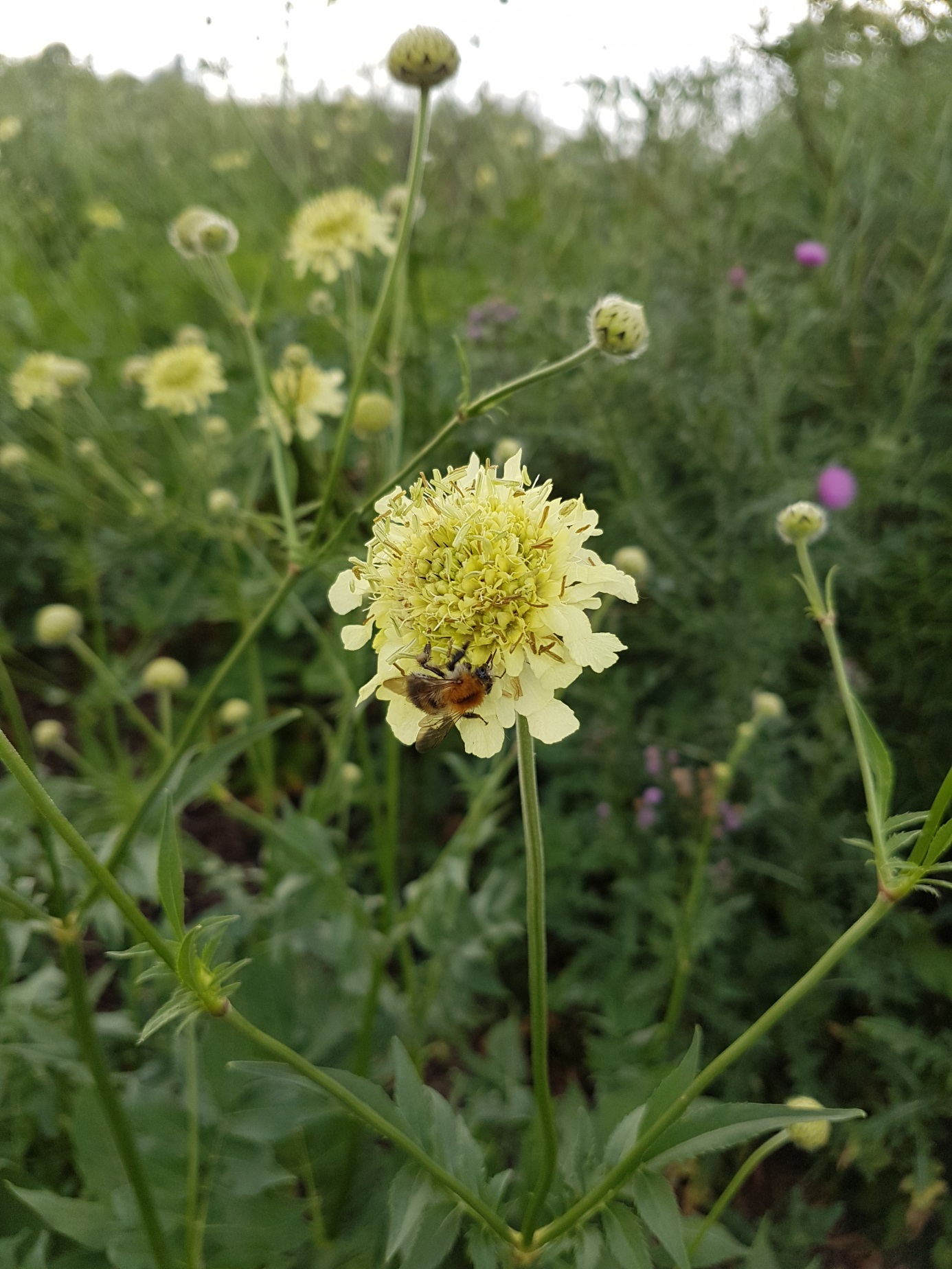Bienen-Schmetterlingsblumen