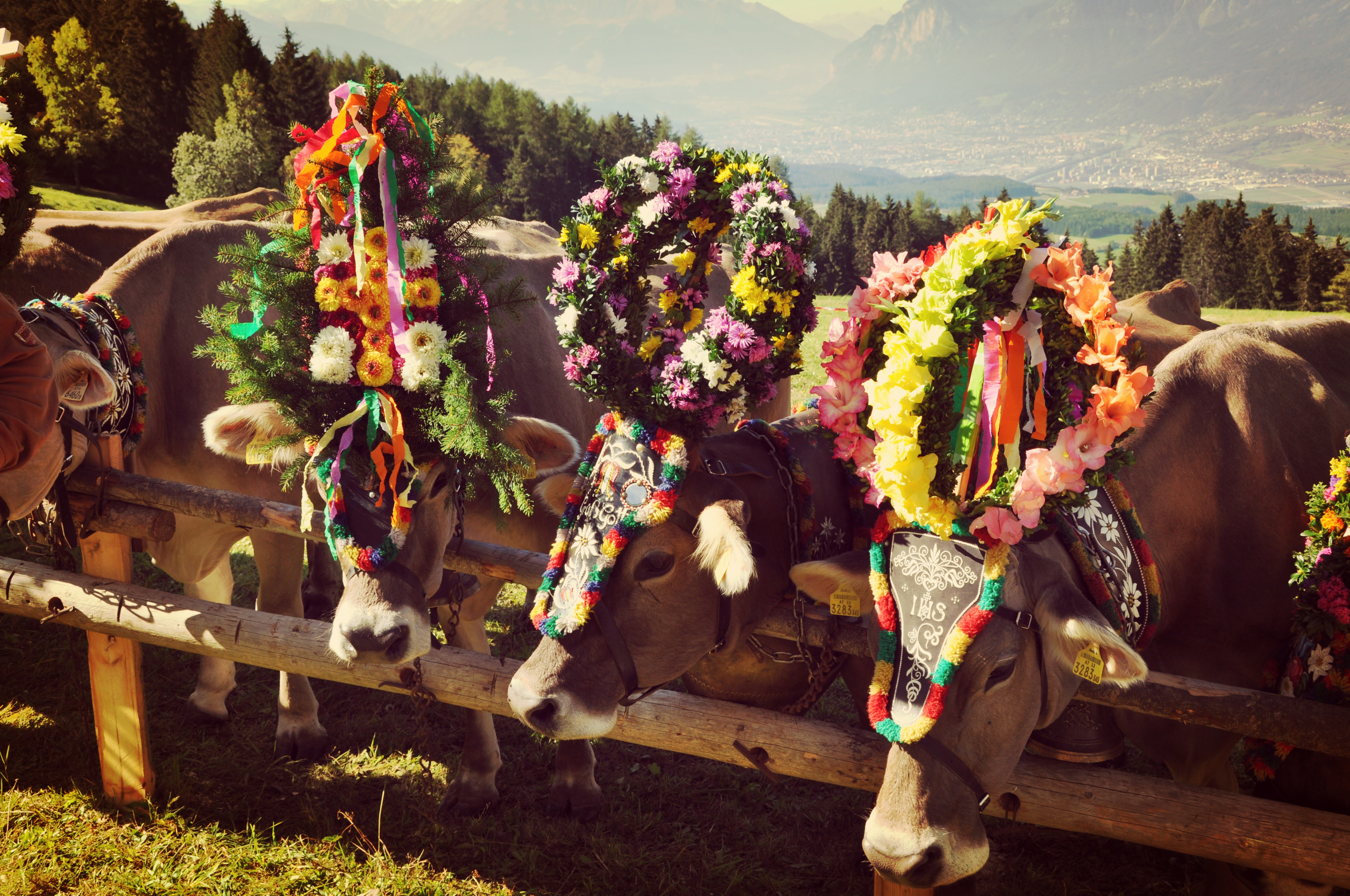 Almabtrieb in der Region Hall-Wattens in Tirol