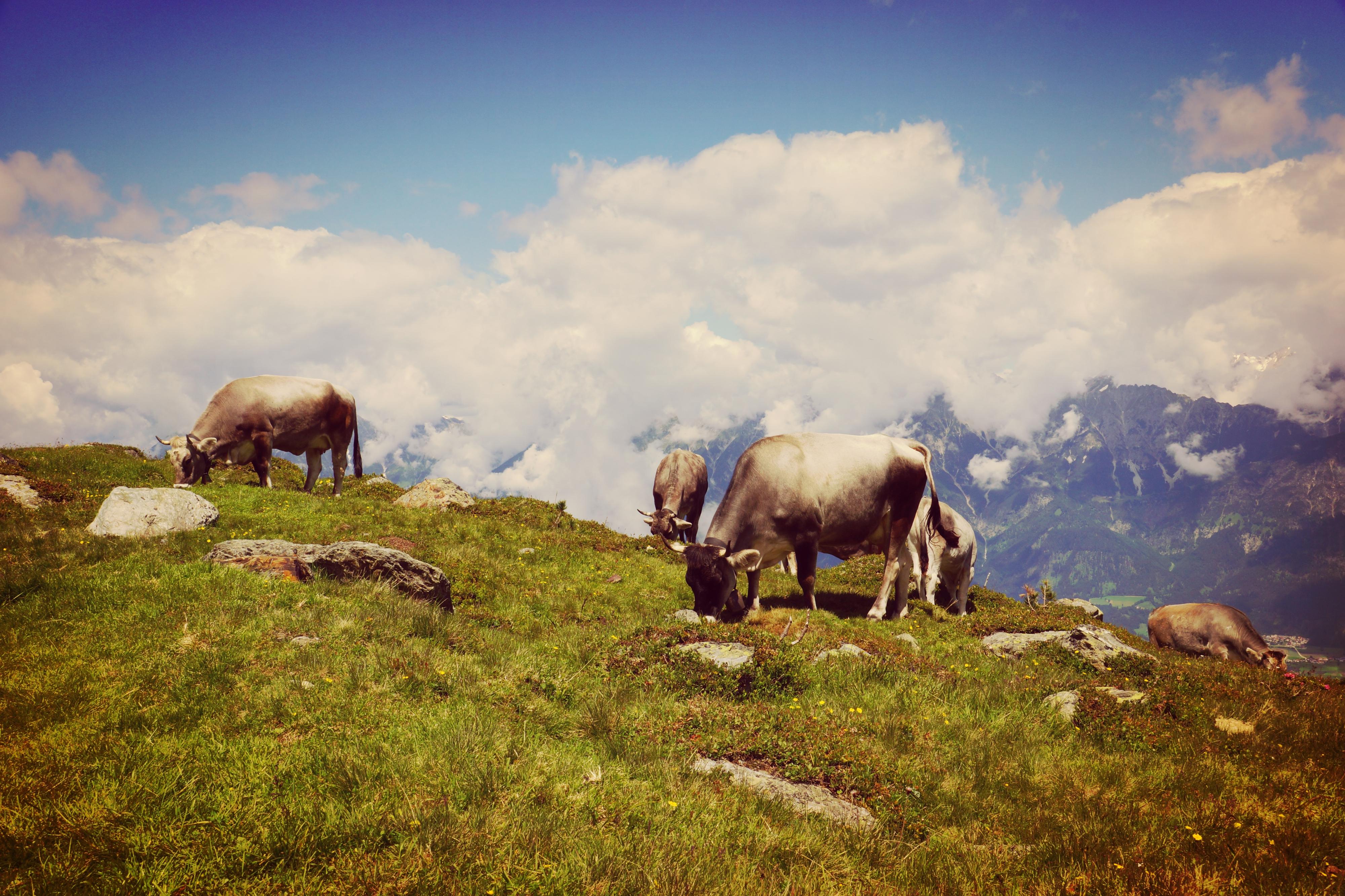Kühe auf der Alm in Tirol