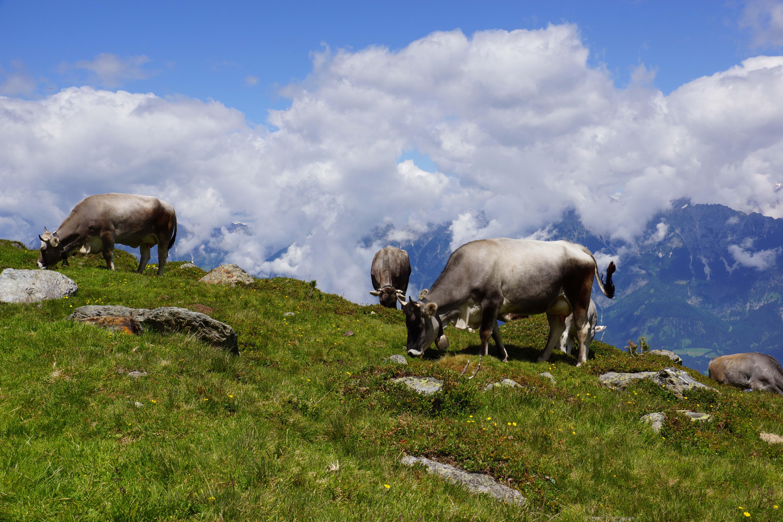 Kühe am Glungezer - Zirbenweg Karwendelgebirge - Alm in der Region Hall-Wattens
