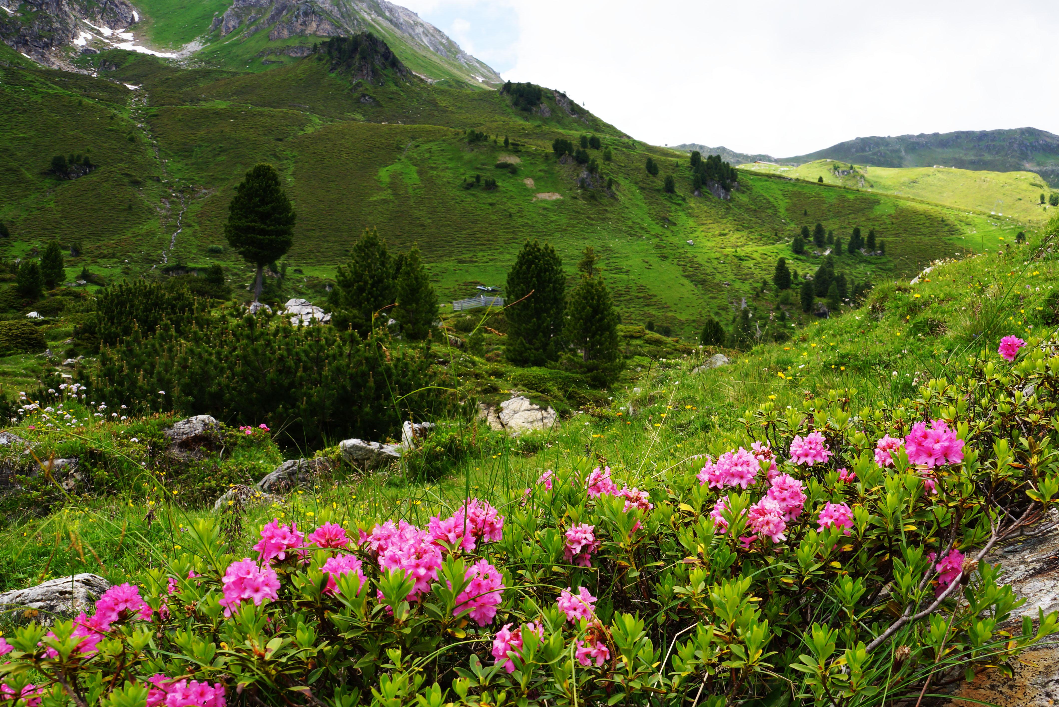 Almrosen in der Wattener Lizum Region Hall-Wattens Tirol